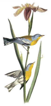 Northern Parula Bird Audubon Print