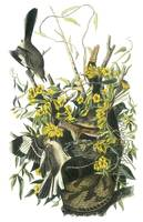 Northern Mockingbird Audubon Print