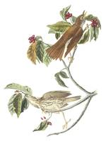 Wood Thrush Bird Audubon Print