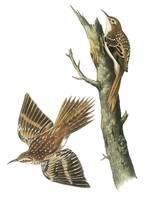 Brown Creeper Bird Audubon Print