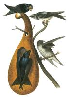 Purple Martin Bird Audubon Print