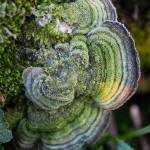 """Mossy Maze Polypore (Cerrena unicolor) covered wit"" by mfortune"