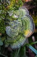 Mossy Maze Polypore (Cerrena unicolor) covered wit