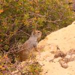 """Kaibab Squirrel IMG_1368"" by rayjacque"