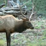 """Bull Elk P1120989"" by rayjacque"