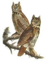 Great Horned Owl Bird Audubon Print