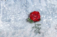 Red Rose in Winter