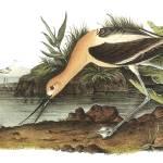 """American Avocet Bird Audubon Print"" by ArtLoversOnline"