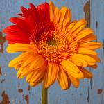 """Two Color Gerbera Daisy"" by photogarry"