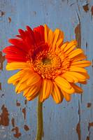 Two Color Gerbera Daisy