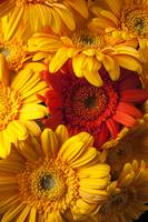 Orange gerbera among yellow ones