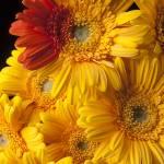 """Gerbera daisy with orange petals"" by photogarry"