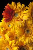 Gerbera daisy with orange petals