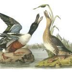 """""""Northern Shoveler Bird Audubon Print"""" by ArtLoversOnline"""