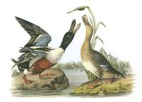 Northern Shoveler Bird Audubon Print