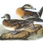 """American Wigeon Bird Audubon Print"" by ArtLoversOnline"
