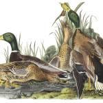 """Mallard Duck Audubon Print"" by ArtLoversOnline"