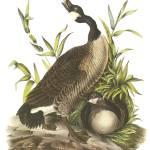 """Canada Goose Audubon Print"" by ArtLoversOnline"