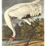 """Whooping Crane Bird Audubon Print"" by ArtLoversOnline"