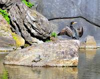 Cormorant Stretching Turtoise Looking