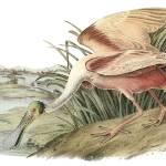 """Roseate Spoonbill Bird Audubon Print"" by ArtLoversOnline"