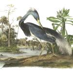 """Tricolored Heron Bird Audubon Print"" by ArtLoversOnline"