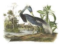 Tricolored Heron Bird Audubon Print
