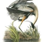 """Great Blue Heron Bird Audubon Print"" by ArtLoversOnline"