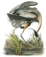 Great Blue Heron Bird Audubon Print