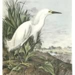 """Snowy Egret Bird Audubon Print"" by ArtLoversOnline"