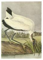Wood Stork Bird Audubon Print