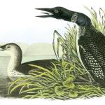 """Common Loon Bird Audubon Print"" by ArtLoversOnline"