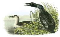 Common Loon Bird Audubon Print