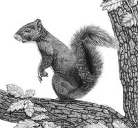 Mr Squirrel (Square)