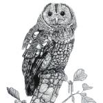 """Tawny Owl"" by Eris-Artwork"