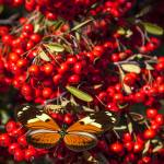 """Butterfly on berry bush"" by photogarry"