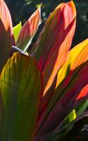 Flames of Canna