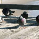 """Pigeons on a pier"" by NelsonWatkins"