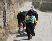 Herding Cows Down a Road in Cotacachi