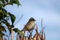 Rufous Collared Sparrow on a Branch