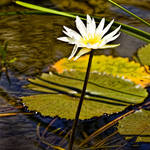 """""""Lilly Pad- Belize"""" by joegemignani"""