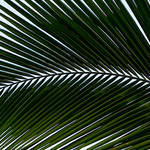 """Palm Frond-Horizontal"" by joegemignani"