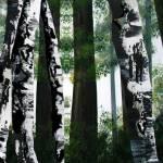 """""""Birch Forest"""" by FradetFineArt"""