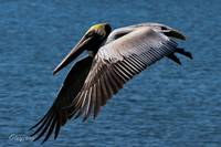 Orange Beach Pelican