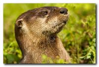 Young River Otter Portrait
