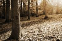 Leafy Autumn Woodland in Sepia
