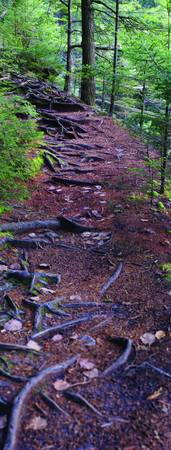 Trail of Roots - Vertical Panorama