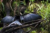 Male Anhinga  (Snake-bird)