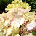"""Pastel Pink Cream Hydrangea Flowers art prints"" by BasleeTroutman"