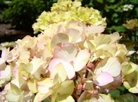 Pastel Pink Cream Hydrangea Flowers art prints